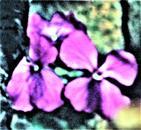 Blüte des Einjährigen Silberblattes(Lunaria annua(L.))