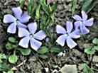 Blüten des Kleinen Immergrüns(Vinca minor(L.))