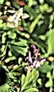 Hohler Lerchensporn(Corydalis cava(L.)Schweigg & Körte)