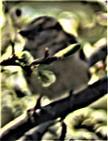 Weiblicher Haussperling(Passer domesticus(L. 1758)) auf einer Kulturpflaume(Prunus domestica(L.))