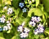 Blüten des Wald-Vergissmeinnicht(Myosotis sylvatica(Ehrh. Ex Hoffm.))