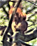 Eurasisches Eichhörnchen(Sciurus vulgaris(L. 1758))