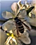 Gemeine Wespe(Vespula vulgaris(L. 1758)) beim Blütenbesuch