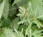 Langhornmotte Gelber Langfühler(Nematopogon swammerdamella(L.1758))
