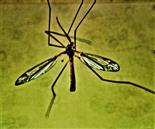 Gefleckte Schnake(Tipula vittata(Meigen 1804))