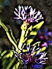 Berg-Flockenblume(Centaurea(bzw. Cyanus) montanus(L.)Hill)