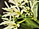 Blüten des Bärlauches(Allium ursinum(L.))
