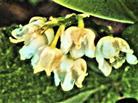 Blüten des Maiglöckchens(Convallaria majalis(L.))
