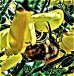 Ackerhummel(Bombus pascuorum(Scopoli 1763)) an einer Blüte eines Besenginsters(Cytisus scoparius(L.)Link)