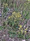 Die Winterkresse bzw. Barbarakraut(Barbarea vulgaris(W. T. Aiton))