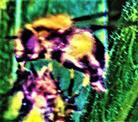 Gemeine Waldschwebfliege(Volucella pellucens(L. 1758)) an einer Blütenknospe