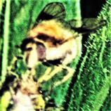 Gemeine Waldschwebfliege(Volucella pellucens(L. 1758)) an einer Blütenknospe 01