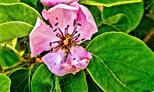 Blüte einer Birnenquitte(Cydnia(Mill.))