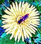 Gemeine Sandbiene(Andrena flavipes(Panzer 1799))