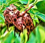 Älterer Schlafapfel bzw. Rosengalle der Gemeinen Rosengallwespe(Diplolepis rosae)