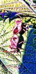 Lederwanzen(Coreus marginatus(L. 1758)) kopulierend