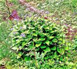 Ausdauerndes Silberblatt(Lunaria rediviva(L.) bzw. alpina(Bergeret)