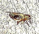 Gemeine Löcherbiene(Heriades truncorum(L. 1758)) rastend