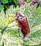 Feldmaikäfer(Melontha melolontha(L. 1758)) rastend