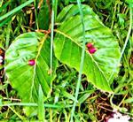 Gallen der Buchengallmücke(Mikiola fagi(L.))