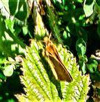 Ockergelber Braundickkopffalter(Thymelicus sylvestris(Poda 1761))