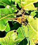 Ockergelber Braundickkopffalter(Thymelicus sylvestris(Poda 1761)) 01