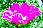 Blüte einer Kartoffel-Rose(Roas rugosa(Thunb.))