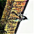 Trauerschnäpper(Ficedula hypoleuca(Pallas 1764))(Unterseite)