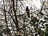 Saatkrähe(Corvus frugilegus(L. 1758)) am Rommelsberg
