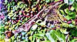 Gespinst der Gespinstmotte(Yponomeuta padella(L. 1758)) an Weißdorn(Crataegus)