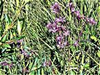 Kuckucks-Lichtnelke(Lychnis flos-cuculi(L.)Clairv.)
