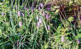 Blüten des Schlangenknöterichs(Bistorta officinalis(Delabre))