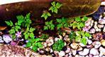 Blüten des Stinkenden Storchschnabels(Geranium robertianum(L.))