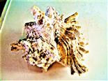 Gehäuse einer Gemeinen Spinnenschnecke(Lambis) Flügelschnecke(Strombidae)