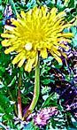 Veränderliche Krabbenspinne(Misumena vatia(Clerck 1757)) auf einer Wald-Habichtsblume(Hieracium murorum(L.))