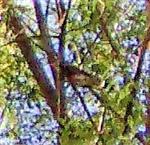 Wacholderdrossel(Turdus pilaris(L. 1758)) schimpfend
