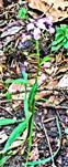 Zwiebeltragende Zahnwurz(Cardamine bulbifera(L.)Crantz)