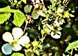 Blüten des Fingerstrauches(Potentilla fruticosa(L.)) var. albicans
