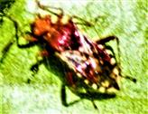 Hellbraune Glasflügelwanze(Rhopalus subrufus(Gmelin 1790))