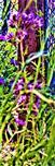 Rainfarn-Bienenweide(Phacelia tanacetifolia(Juss.))