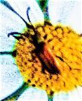 Kragenbock(Anaesthetis testacea(Fabricius 1781))