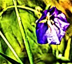 Blüte der Pfirsichblättrigen Glockenblume(Campanula persicifolia(L.))