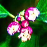 Blüten einer Gewöhnlichen Schneebeere(Symphoricarpos albus(L.) S. F. Blake)