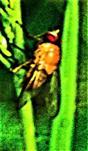 Helle Hausfliege(Phaonia pallida(Fabricius 1787))