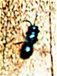 Kleine Erzwespe der Familie Perilampidae