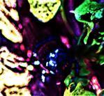 Kleiner Rehschröter(Platycerus caraboides(L. 1758)) emporkletternd