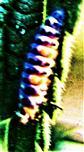 Larve des Siebenpunkt-Marienkäfers(Coccinella septempunctata(L. 1758))