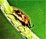 Rote Weichwanze(Deraeocoris ruber(L. 1758))