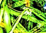 Nymphe des Großen oder Grünen Heupferdes(Tettigonia viridissima(L. 1758))