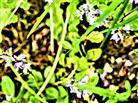Wald-Ehrenpreis(Veronica officinalis(L.))